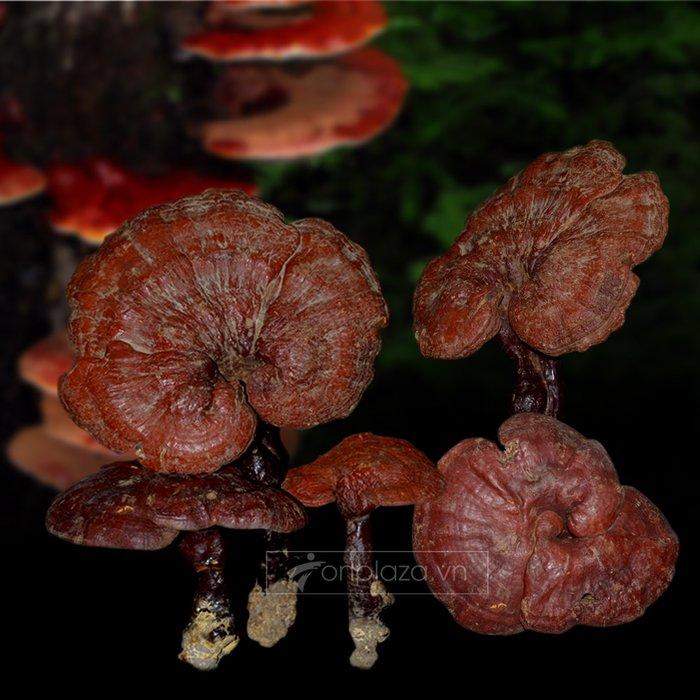 Nấm lim xanh Quảng Nam tự nhiên loại 1