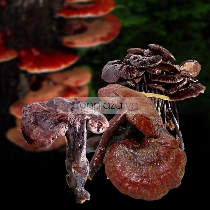 Nấm lim xanh Quảng Nam Việt Nam tự nhiên L012