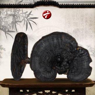 Nấm rừng hắc linh chi ( loại nhỏ) L042
